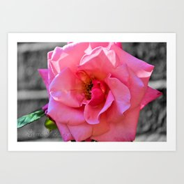 Open Pink Rose Art Print