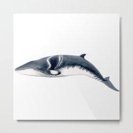 Baby Minke whale Metal Print