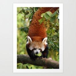 Red Panda Acrobat Art Print