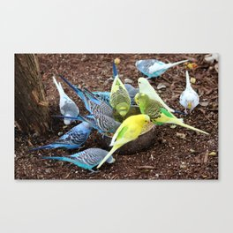 Budgie Dive-In Canvas Print