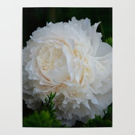Champagne Peony by Teresa Thompson Poster
