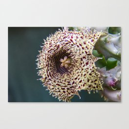 Stapelia Flower 4 Canvas Print