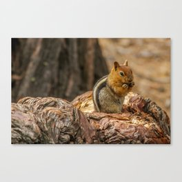 The Squirrel and the Redwood Canvas Print