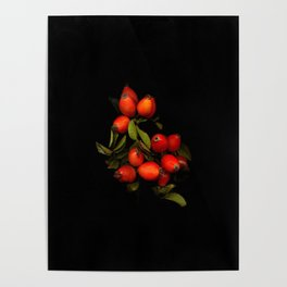 The branch with the fruits of wild rose on a black background Poster