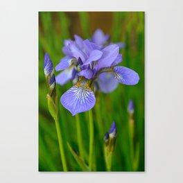 Siberian Iris by Teresa Thompson Canvas Print