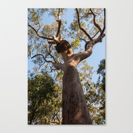 Scribbly Gum Tree, Muogamarra Reserve, Sydney Canvas Print