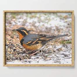 Male Varied Thrush Amid the Snow and Seed Serving Tray