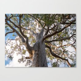 Scribbly Gum Tree Canvas Print