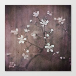 Saxifraga umbrosa Canvas Print