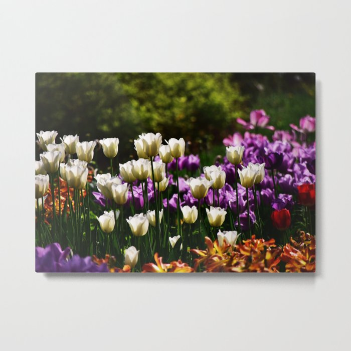 Purple and White Tulips Metal Print