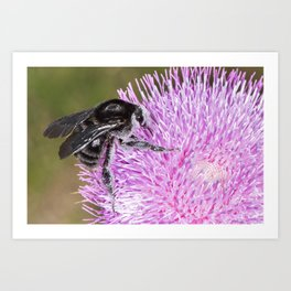 Bumblebee on Thistle Flower 02 Art Print