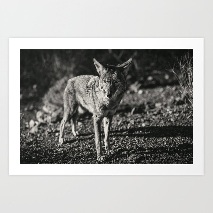 Coyote in black and white art print