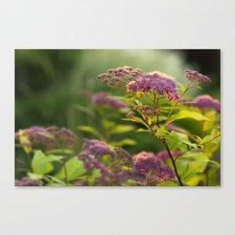 Blooming Spirea Canvas Print