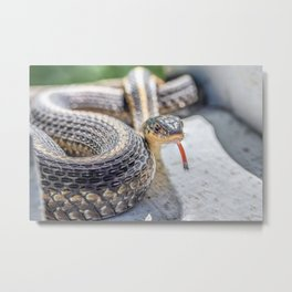 Garter snake with its tongue out Metal Print