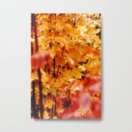 Maple tree in fire the fall Metal Print