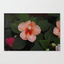 Peach Impatiens Canvas Print