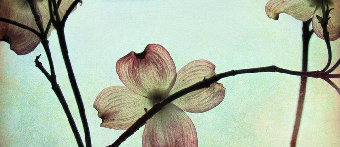 Modern Country Farmhouse Dogwood Blossoms Flower Art A843 Coffee Mug