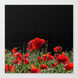 Red Poppies in bright sunlight Canvas Print