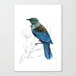 Tui, New Zealand native bird Canvas Print