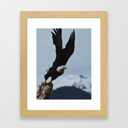 Alaskan Bald Eagle Framed Art Print
