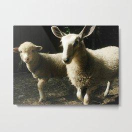 Lambs Metal Print