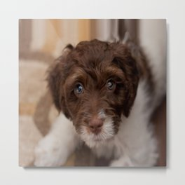 Study in Brown and White - Spaniel Dog Metal Print
