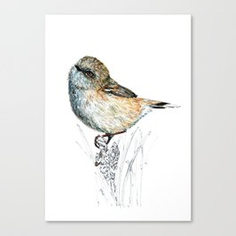 Mr Riroriro, the New Zealand Grey Warbler Canvas Print