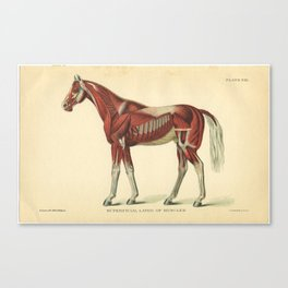 Vintage Horse Muscle Anatomy Print Canvas Print