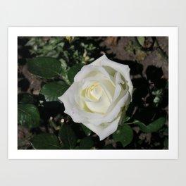 A white rose Art Print