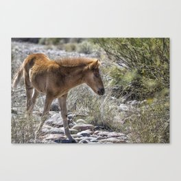 Salt River Wild Foal Canvas Print