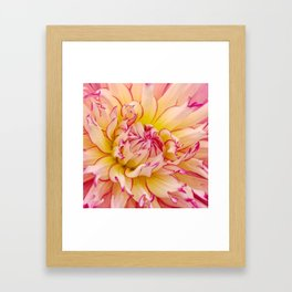 Pink Dahlia with Bright Pink tips Close Up Detail Framed Art Print