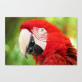 Catalina Macaw Canvas Print