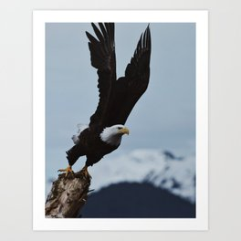 Alaskan Bald Eagle Art Print