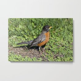 American Robin in the Grass - Photography Metal Print