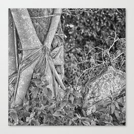 Strangler fig and boulder in the rain forest Canvas Print