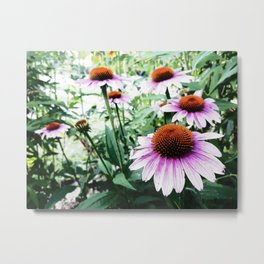 Echinacea in Bloom Metal Print