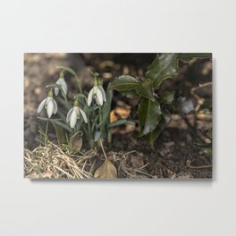 Snowdrops under a holly bush Metal Print