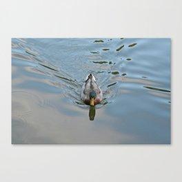 Mallard duck swimming in a turquoise lake 2 Canvas Print