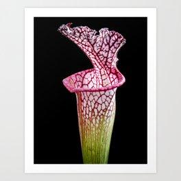 Sarracenia, S. leucophylla - Pitcher Plant - Carnivorous Plant Art Print