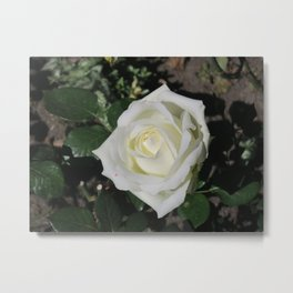 A white rose Metal Print
