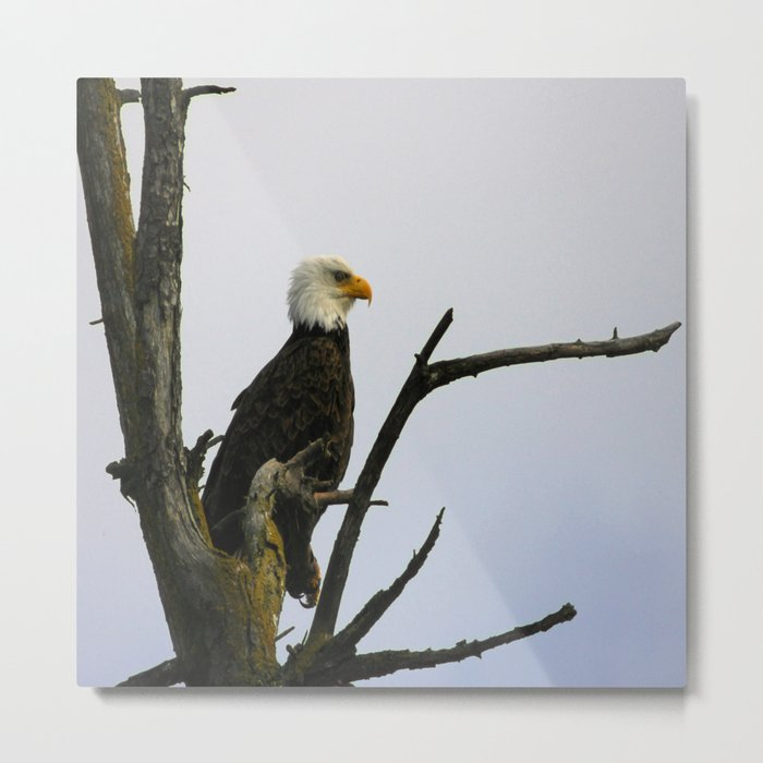eagle striking a pose (square) Metal Print