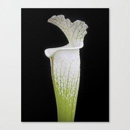 Sarracenia, leucophylla, Hurricane Creek - Pitcher Plant - Carnivorous Plant Canvas Print
