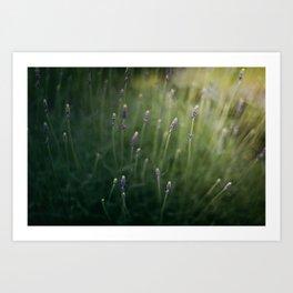 Blooming Lavender Art Print
