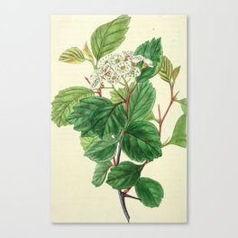 Unidentified Illustration from Edwards' Botanical Register Canvas Print