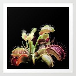 Venus Fly Traps - Carnivorous Plant Art Print