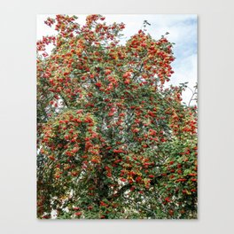 Rowanberries Canvas Print