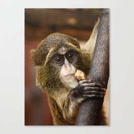 Young Debrazza's Monkey  Canvas Print
