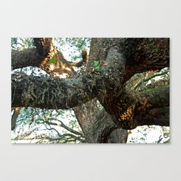 Live Oak Spread Canvas Print