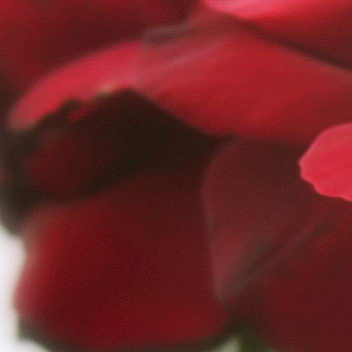 Red Rose with Light 1 Leggings