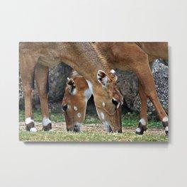 Persian Gazelle Metal Print
